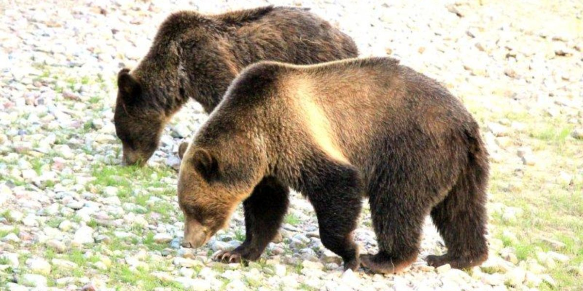 Grizzly bears in Glacier National Park