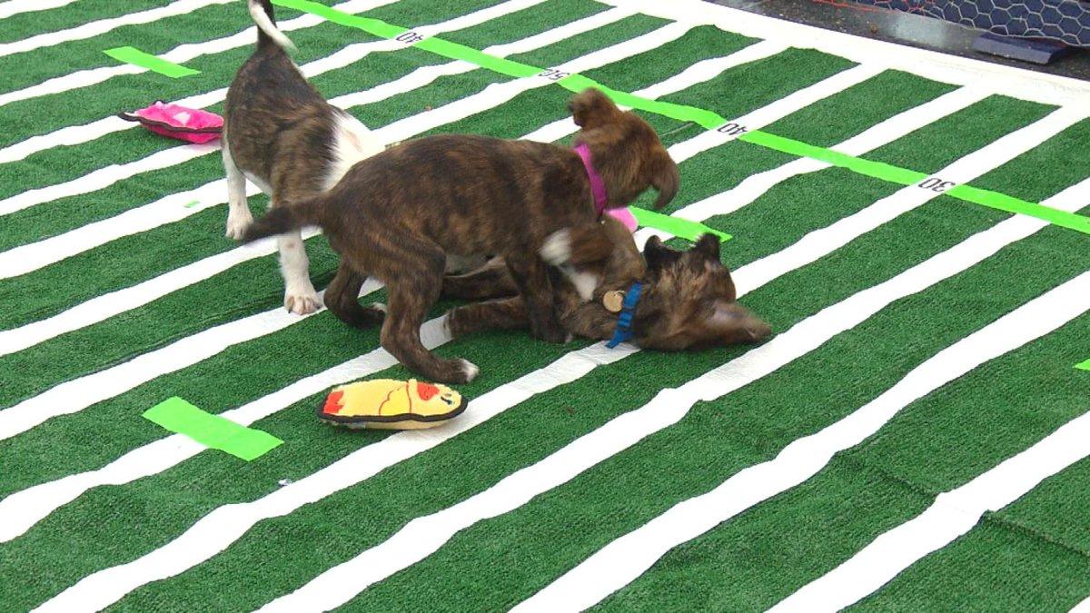'So Cute!' Puppy Bowl Draws Smiles AtDIA