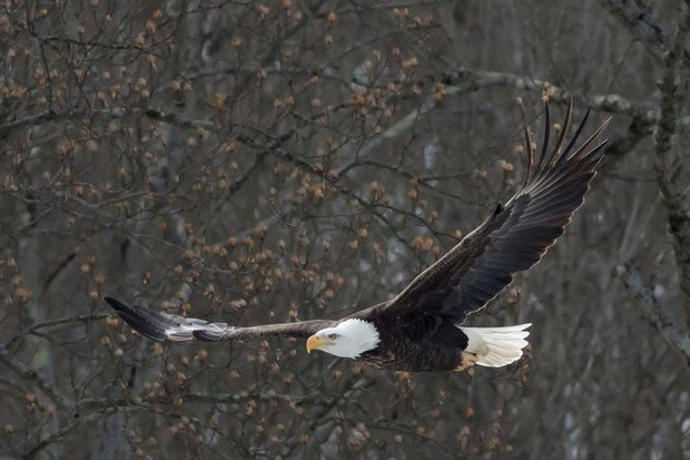 Bald eagles return to nest at Cuyahoga Valley National Park