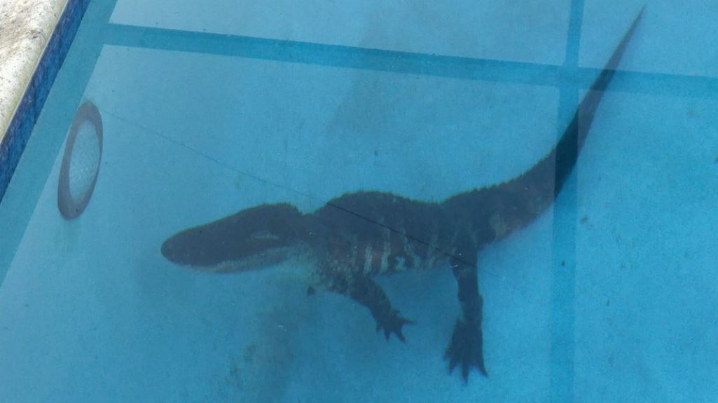 Florida family finds 8-foot gator in pool