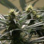 Postal Service employees plead guilty to marijuanatheft