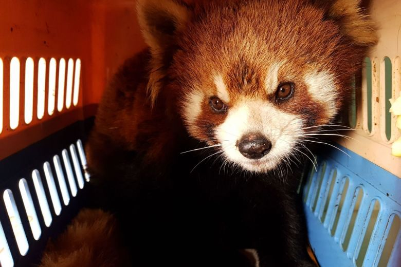 Red panda rescue in Laos stokes fears of endangered species being sold as pets