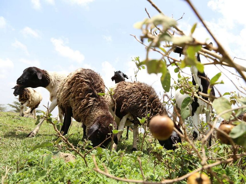 Sheep sell for Sh1,000 as Marakwets flee rustlers