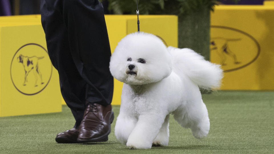 A Westminster wow: Bichon frise becomes America's top dog