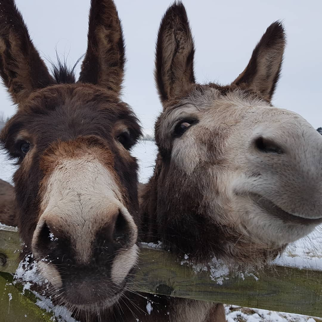 The snow makes Floppy and Ernie happy! Look at the smiles. #murtonfarm #murtondayout #visitangus https://t.co/iTEiFyky6w
