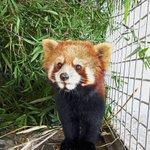 Red pandas rescued in Laos - ASEAN/East Asia