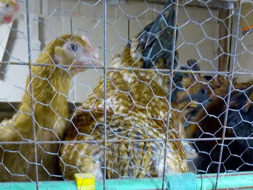 Former quail farmer finds security in chicken farming