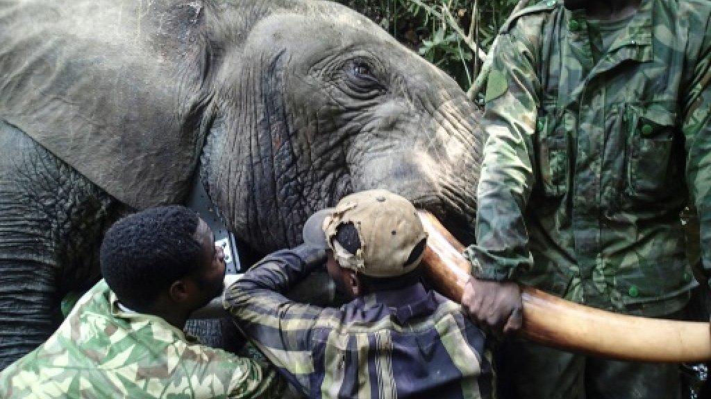 Gabon fights elephant poachers with hi-tech tracker collars
