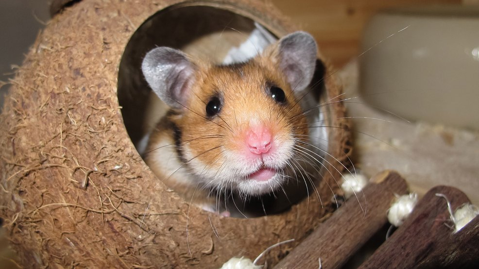 Florida woman: Airline told me to flush pet hamster