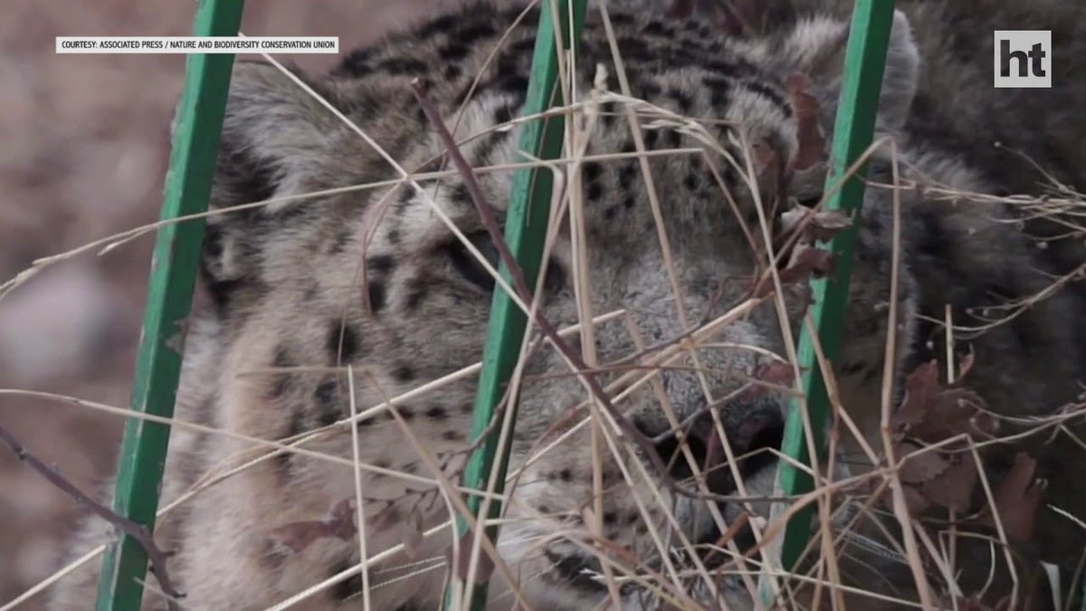 Uncertain future: Will the snow leopard survive?