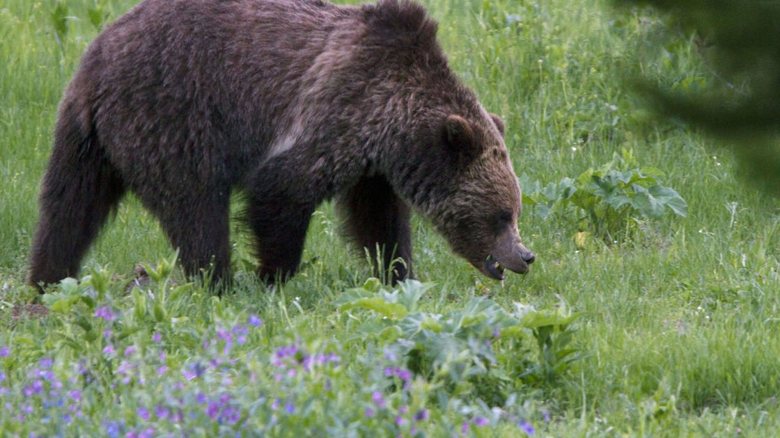 Montana says it won't hunt Yellowstone bears in 2018