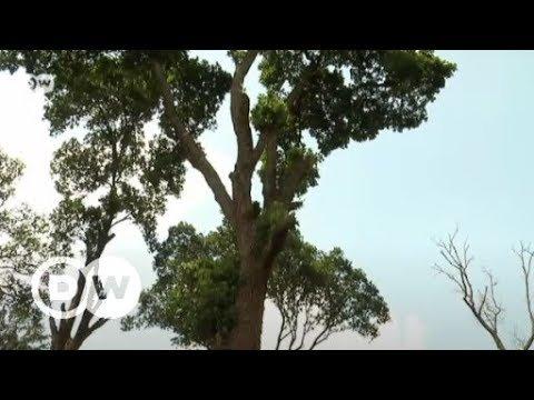 Prunus Africana - tree of life | DW English