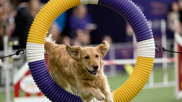 Westminster dog show brings 330 dogs together to leap and jump