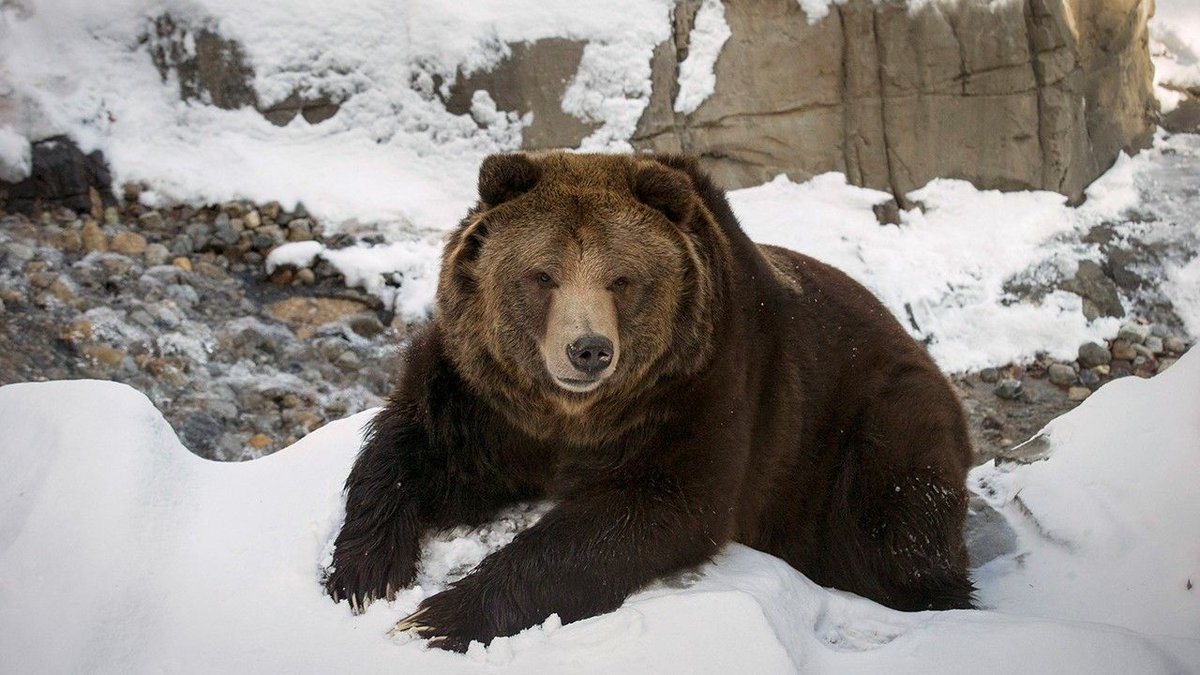 Yellowstone grizzly bears could be hunted under new regulations