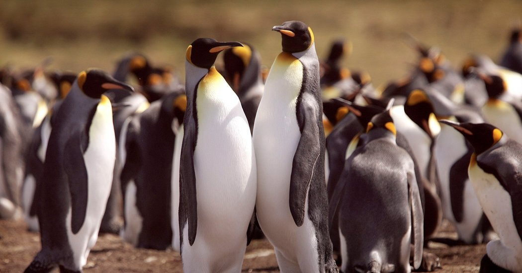 King Penguins Are Endangered by Warmer Seas