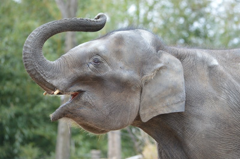 Elephant calf dies at the St. Louis Zoo from viralinfection