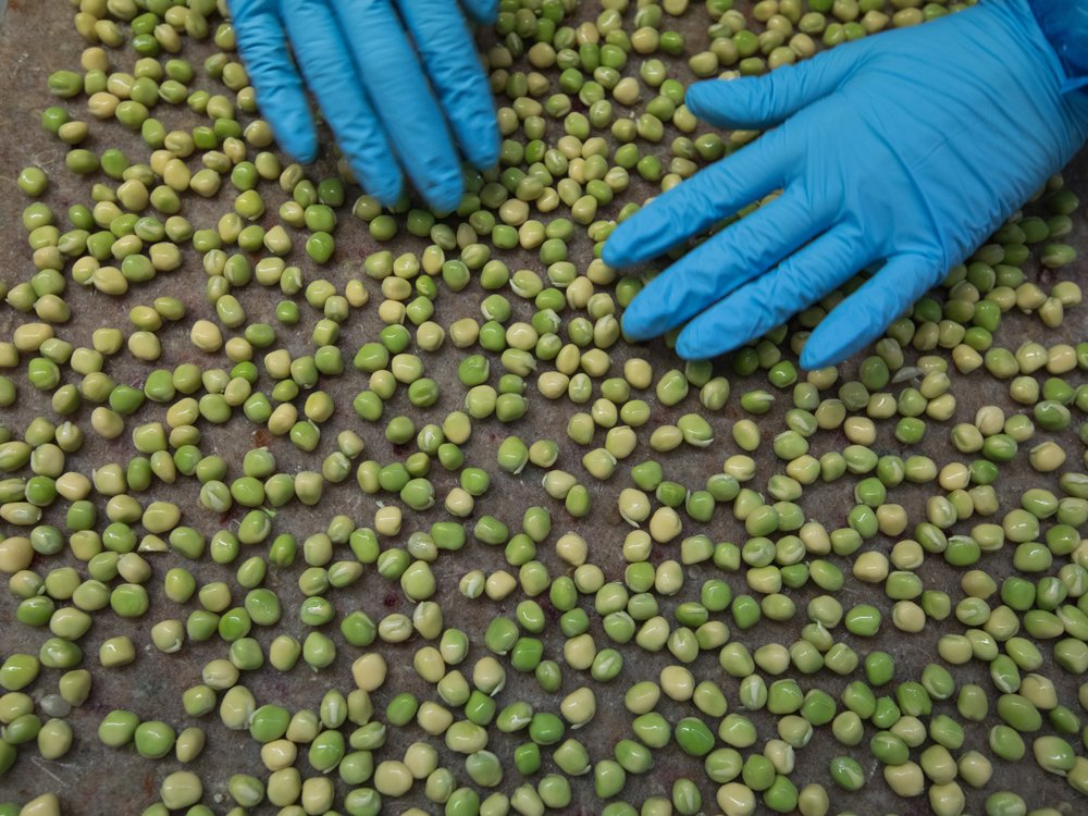 Canadian farmers ditch pulses for canola after pea boom goes bust