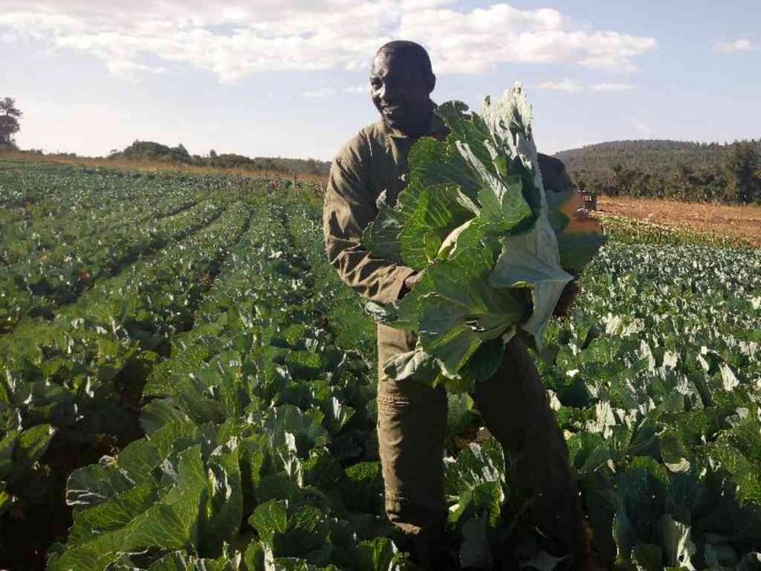 Samburu farmer who traded in cows for cabbages reaps big