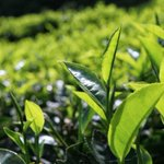 Kenya sets sights on new tea markets with opening ofSudan warehouses