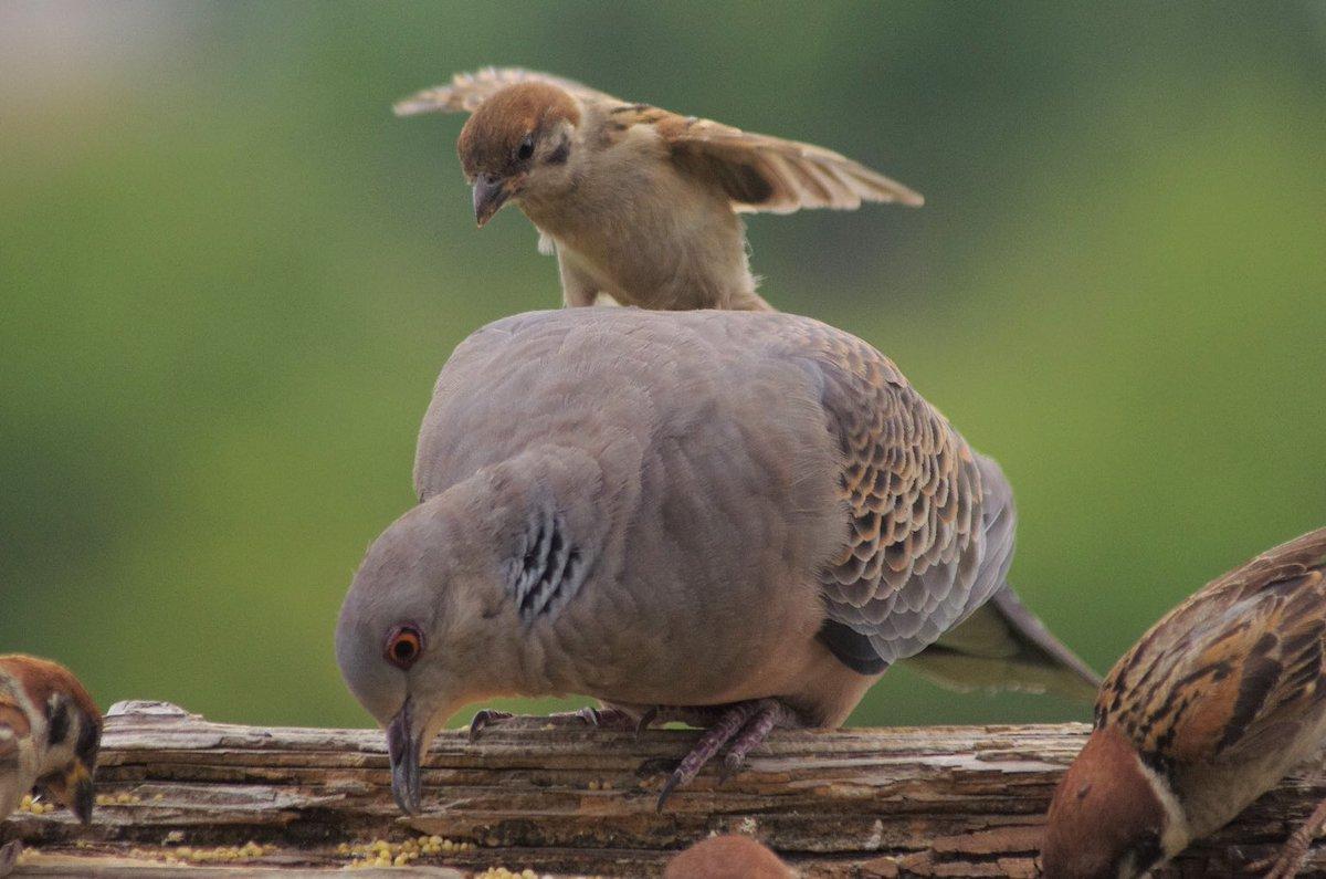RT @aerial2009: 調子に乗ってキジバトをからかっていて最後に怒られるスズメ  #雀 #スズメ #すずめ #sparrow...