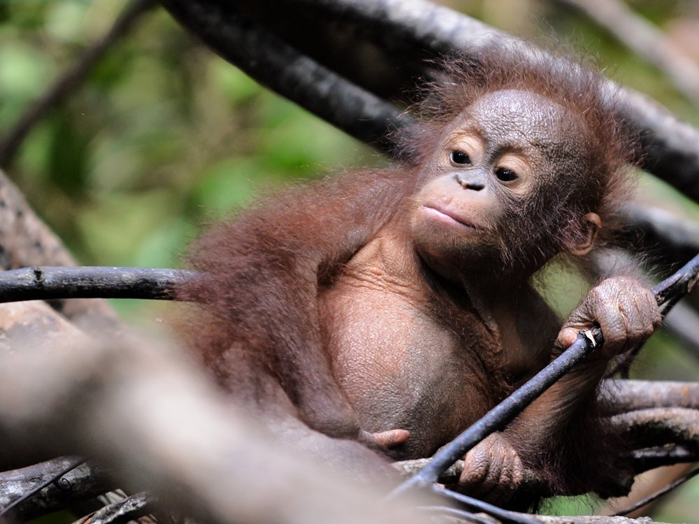 Borneo's orangutan population has plunged by more than 100,000 since 1999