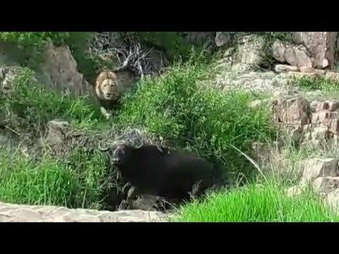 Buffalo doesn't hear the approaching male lions