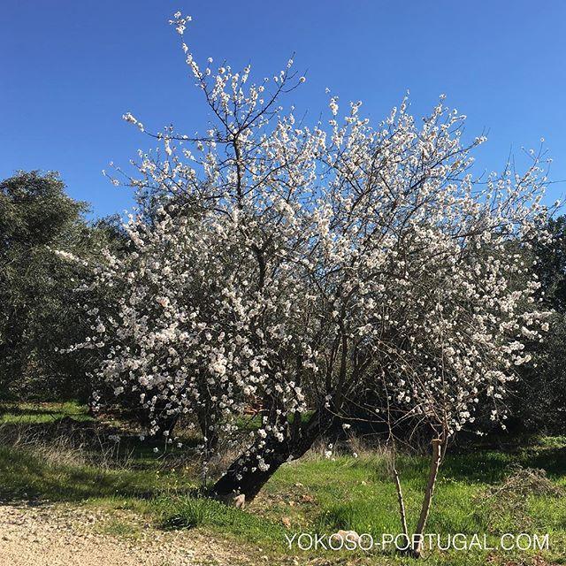 test ツイッターメディア - ポルトガル南部のアルガルベ地方は、白いアーモンドの花が満開です。昔々、北部から嫁いできたプリンセスが故郷の雪を懐かしみ悲しみ、それを見かねた王様が、白雪の様な花が咲くアーモンドを至る所に植えたという言い伝えがあるそうです。 #アルガルベ  #ポルトガル https://t.co/iCoeRgJzGx