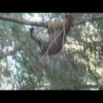 leopard tries to hunt a baboon and becomes the hunted