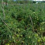Now Arumeru farmers battle with tomato pest