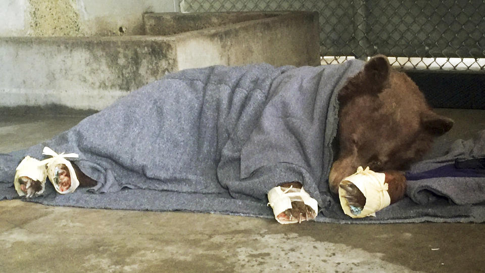 2 bears burned in California wildfire spotted in the wild