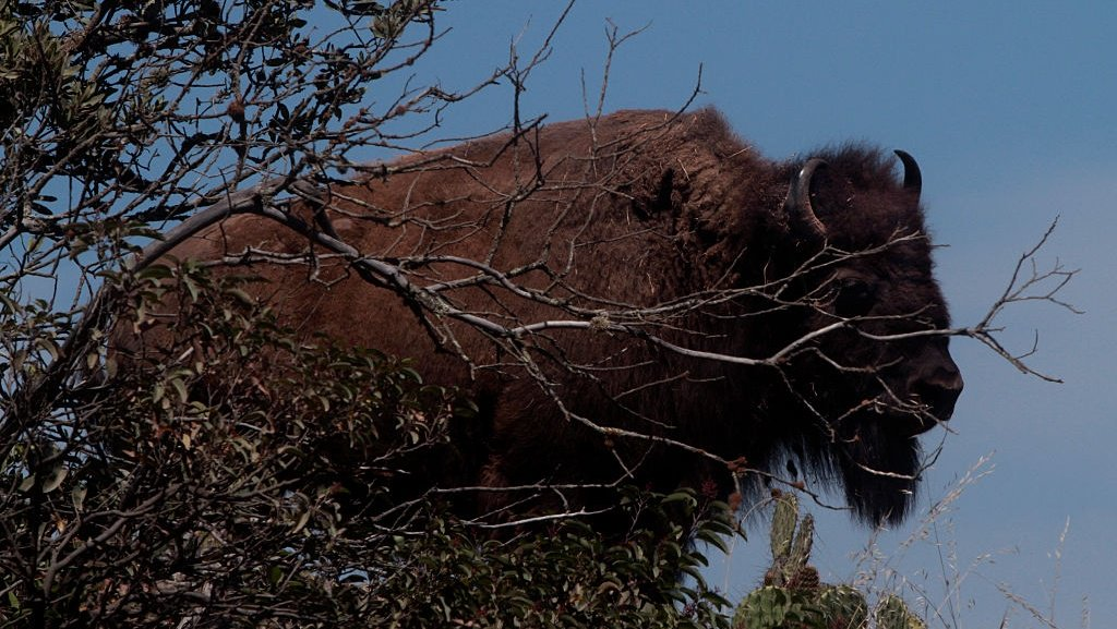 Bison gores camper on Southern California island