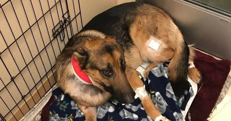 Hero Dog Who Saved Teen Goes Home After Successful Surgery