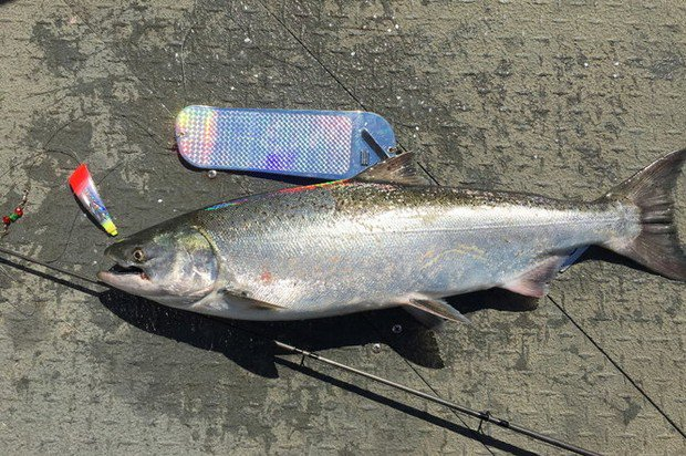 Spring salmon seasons due Wednesday for the Columbia River