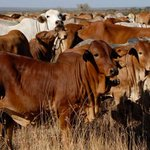 Police urged to act with restraint in ongoing cattle operation