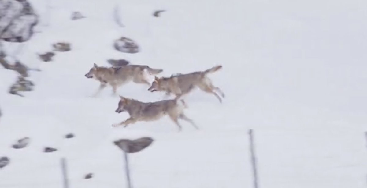 Wolves Play a Menacing Game With Dog in Abruzzo, Italy