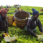 Court orders tea pluckers to harvest additional 300kg of green leaf a month