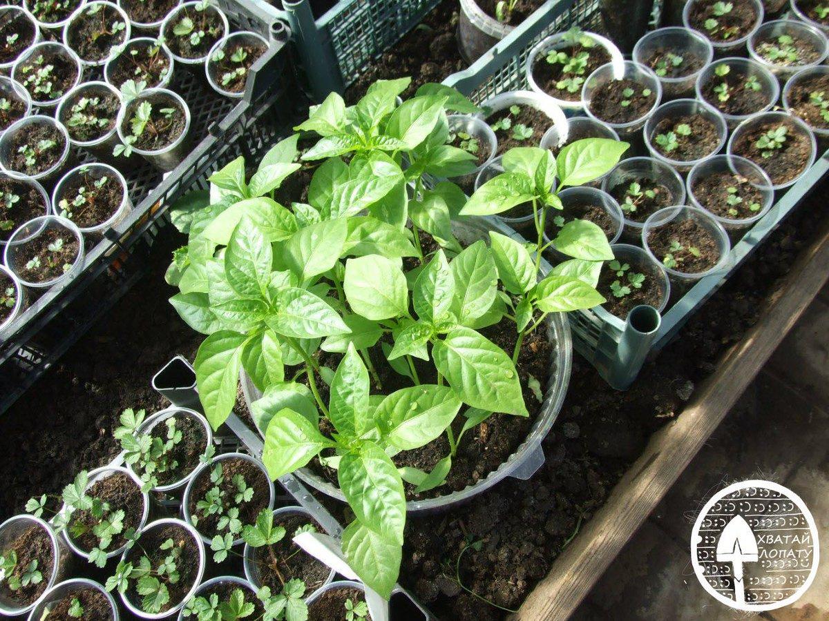 Как выращивать рассаду - когда и как сажать, посев и 88