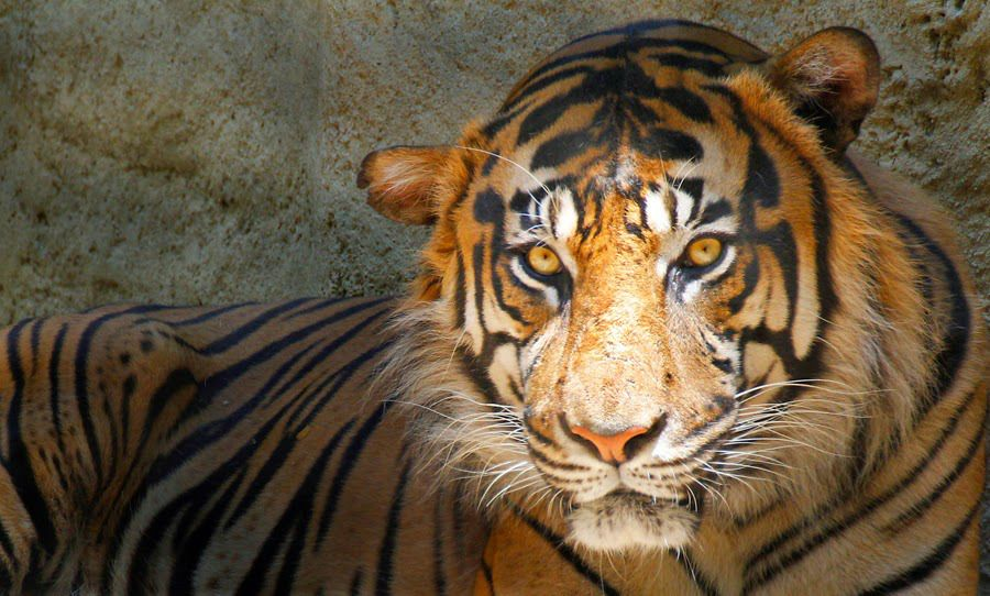 Teen Gets 6 Months For Smuggling Bengal Tiger Cub Into US