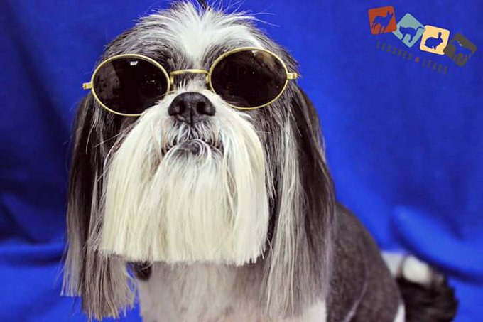 When your client wants you to groom his dog to look like @OzzyOsbourne I think I #nailedit https://t.co/g7danCj4If