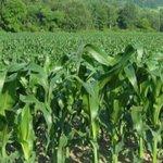 Medium-size farmers key to unlocking Kenya's pursuit of food security