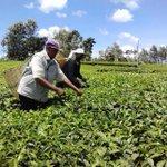 Embu tea yields drop by half, factory costs rise in drought