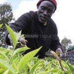 Mini Bonus payout beckons tea farmers