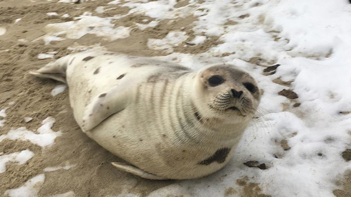 Distressed seal rescued from Maine beach