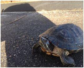 Police arrest Rhode Island man accused of abandoning turtle frozen in tank