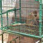 No more monkey business as Murang'a farmers trap primates