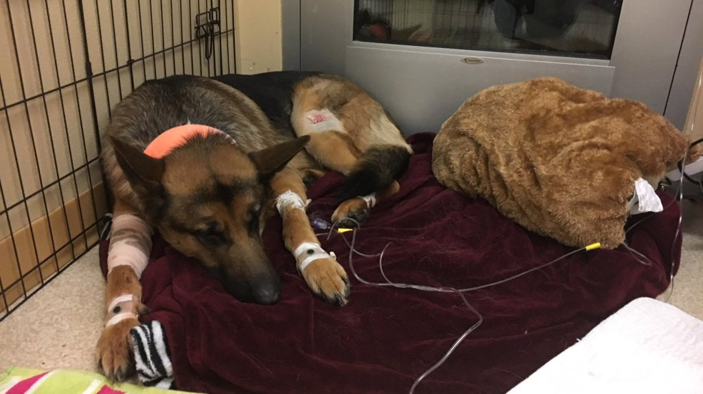 Hero dog shot protecting Wash. teen during home invasion