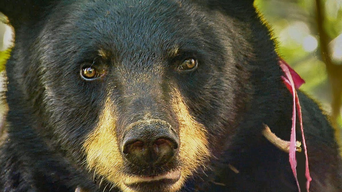 Bear Charges Gordon to make him back off | BBC Earth