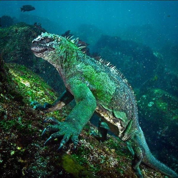 test Twitter Media - This is marine iguana, our planet's only ocean going lizards. They're very sensitive to #climatechange as they graze cold water seaweeds. Too warm water'll lose their source of food. If temperature keeps rising, this can be the first to disappear. https://t.co/3RpVsp62VL @NatGeo https://t.co/j9MLFGu9pL