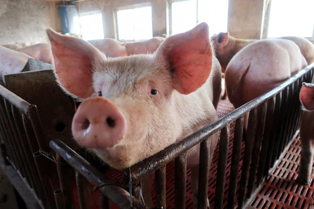 Pig trough: China hog prices plunge after farm building boom