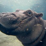 Hippos Fiona and Tim launch courtship on social media